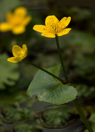 19.Caltha_palustris