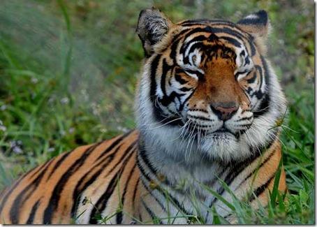 Тигр и его самка секс