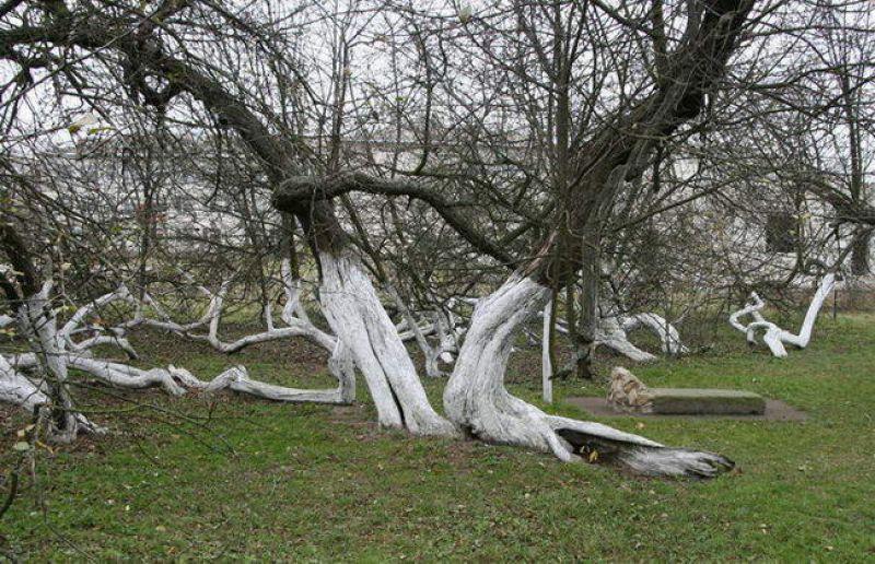 Чудо природы: яблоня-колония