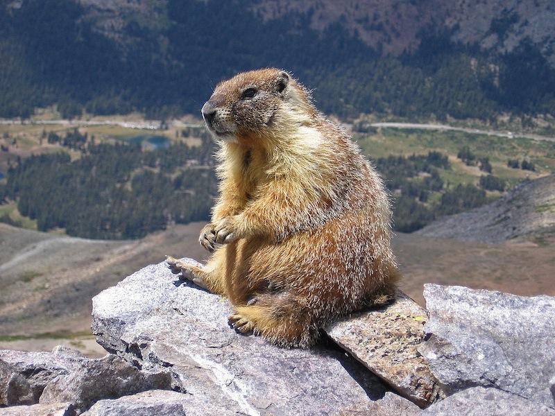 1280px-Marmot-edit1
