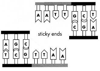 sticky ends.jpg