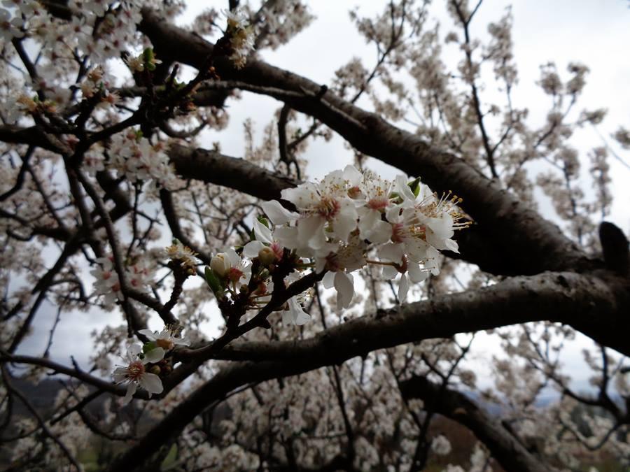 цветки сливы