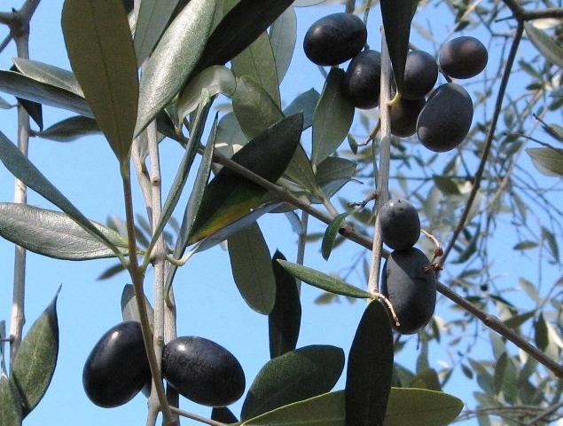 olivki-оливки