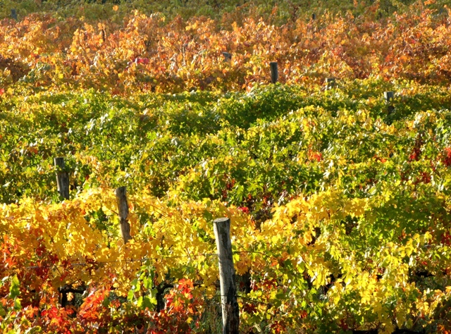 vinogradniki-виноградники