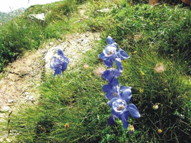 альпийский_цветок