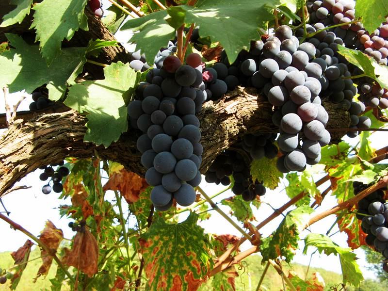 vinograd_sozrel