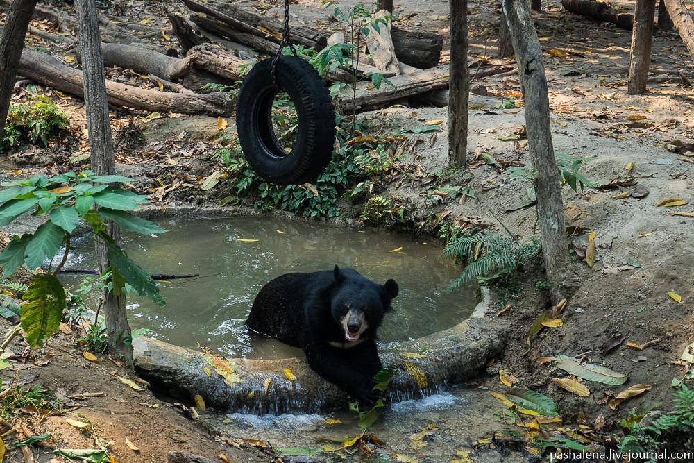 гималайский медведь в Луангпрабанге