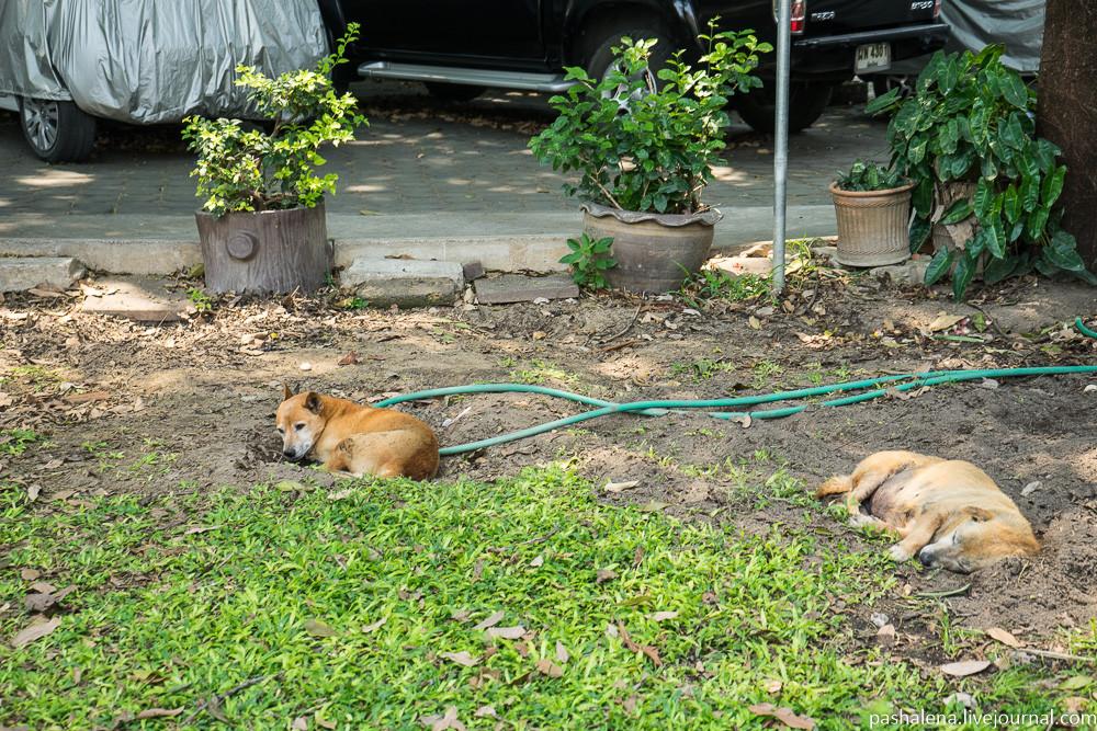 Собаки в Таиланде