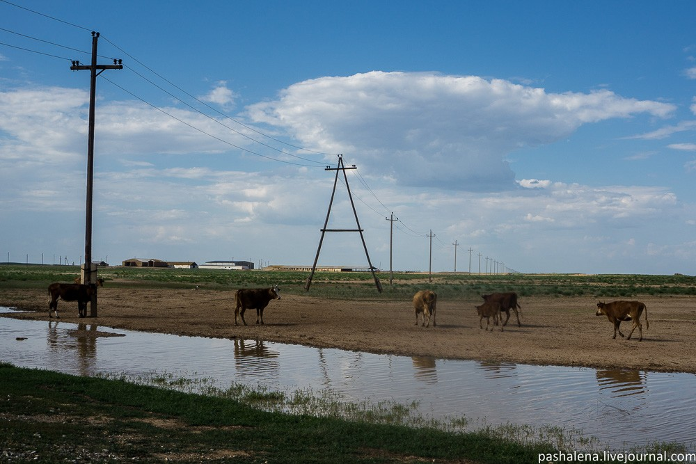 Коровы Калмыкия