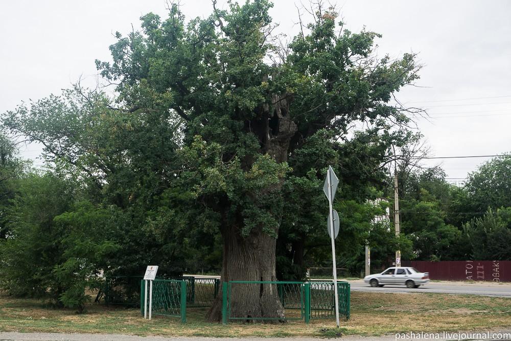 Дуб Петра Первого