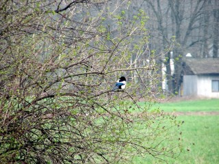 A magpie.