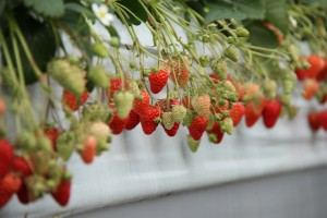 Strawberry picking field trip 2014 HUGE Canon 1958