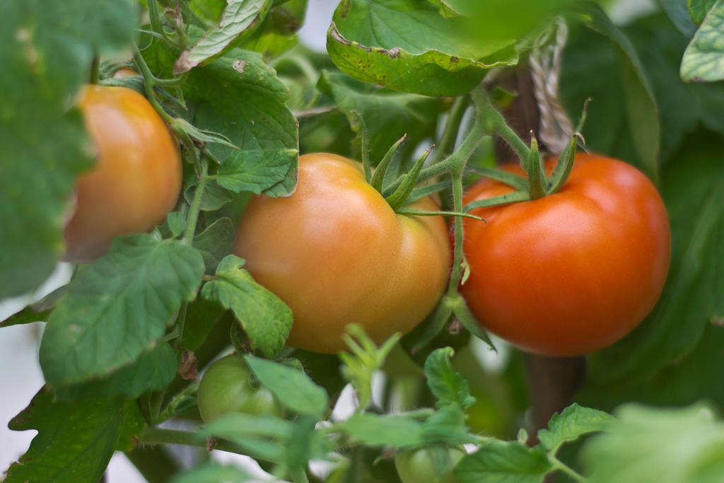 Выращивание томатов без рассады.