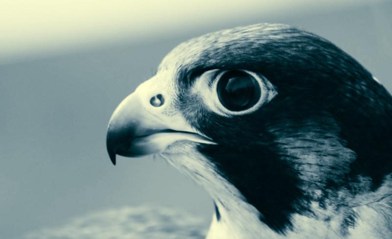 В области возле ноздрей имеются специальные бугорки, которые направляют в сторону воздух во время стремительного падения птицы.