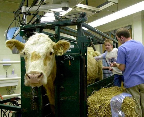 О коровах с дырками в боку