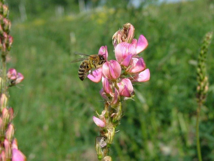 сумочки средняя полоса медоносная трава для пчел фото найдете