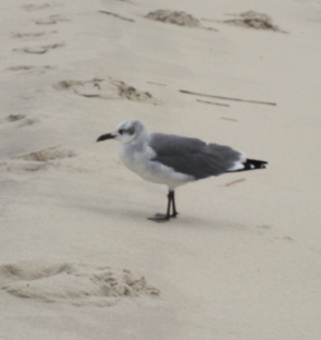 Cape May seagull