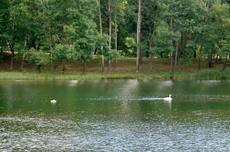 Лебеди в Гатчинском парке