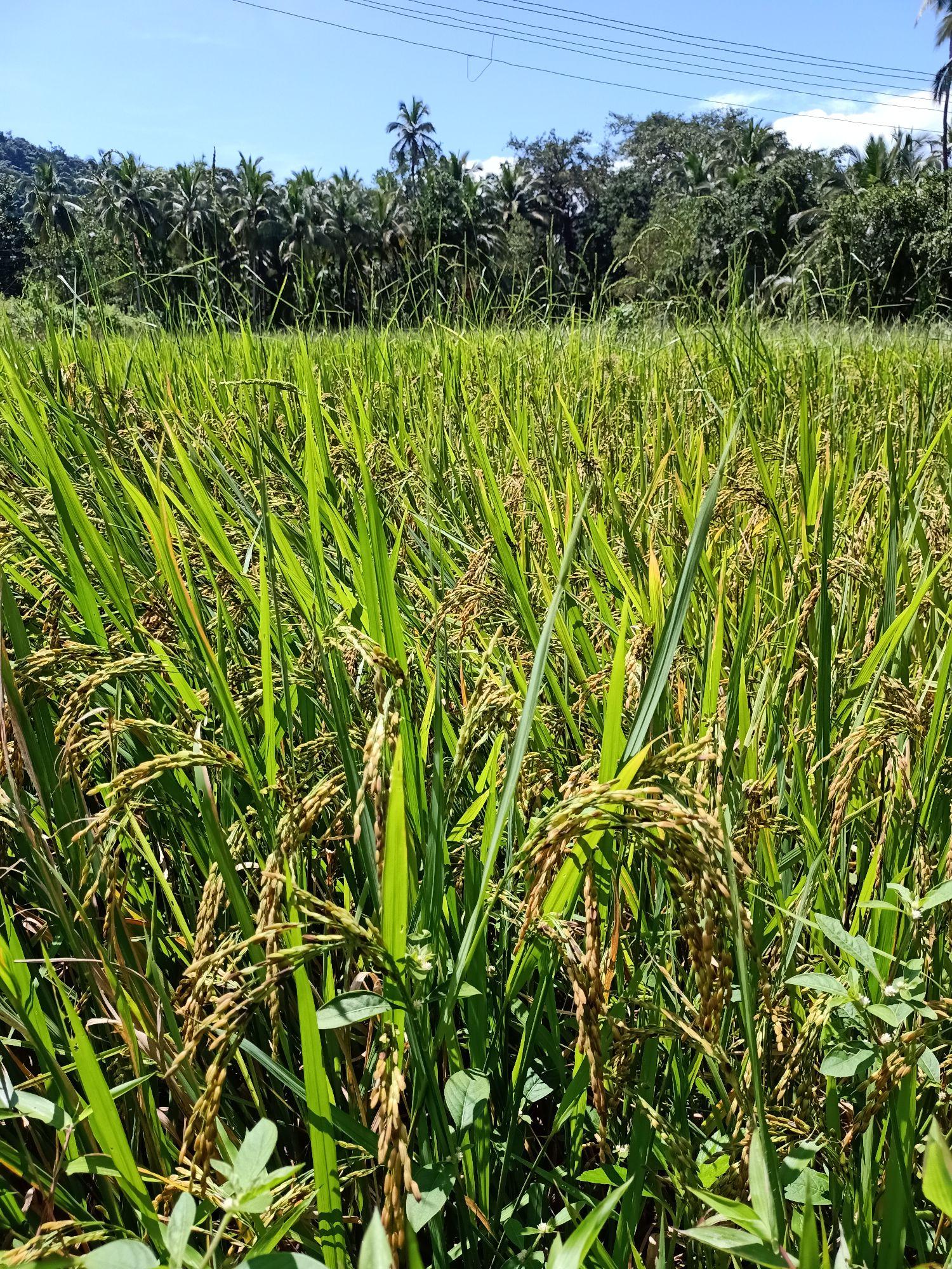 Так растет рис