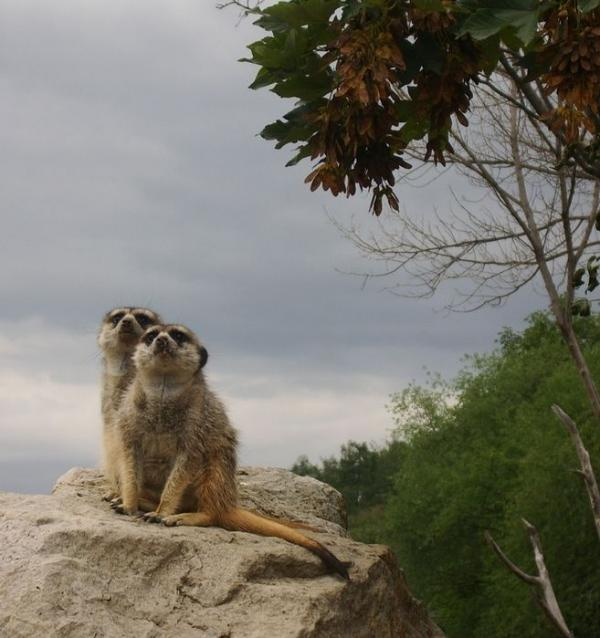 surikat-(1)