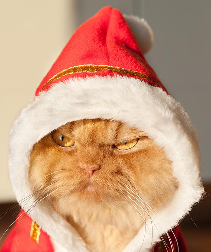гарфи-самый-суровый-и-зловещий-персидский-рыжий-кот-5