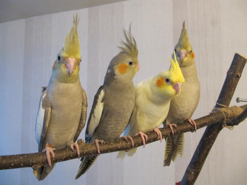 Попугаи в клетке раскраска