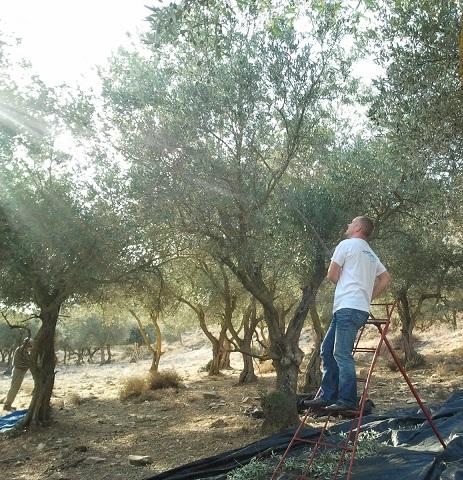 Сбор оливок в Галилее