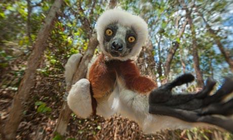 Lemur-in-Madagascar-010