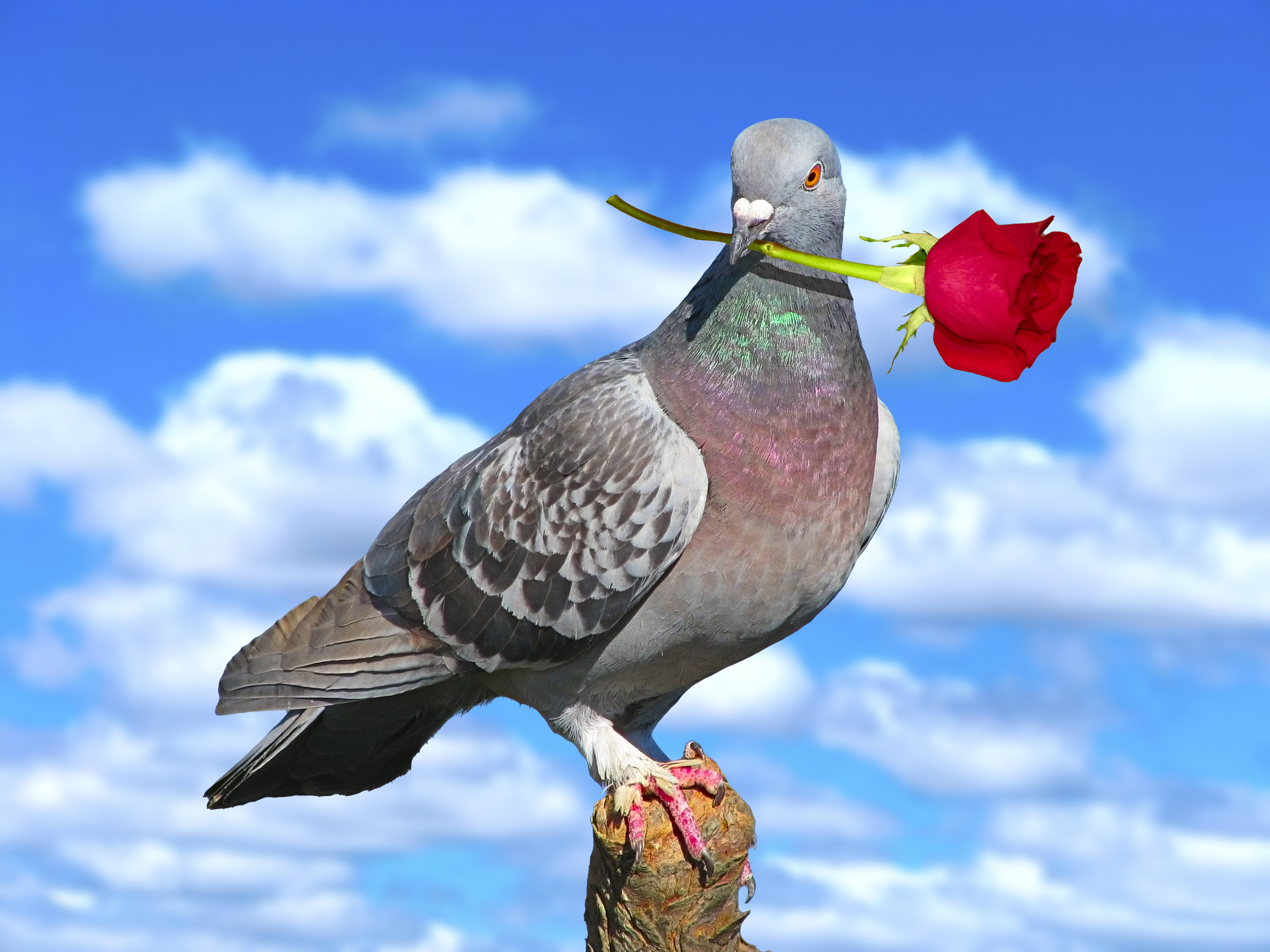pigeon-with-rose
