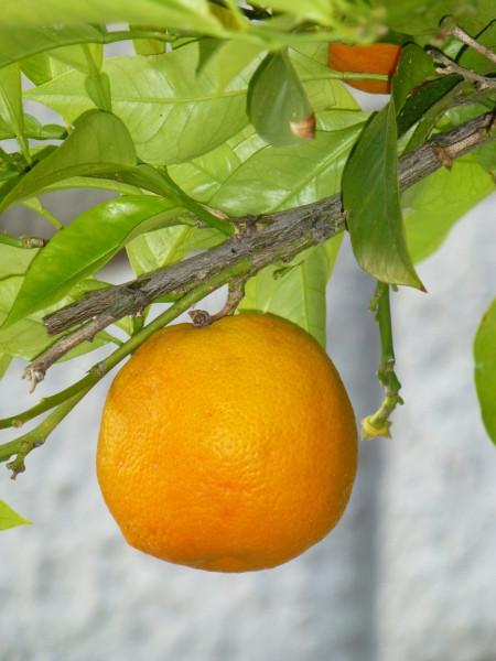 P1020721 Citrus 40%