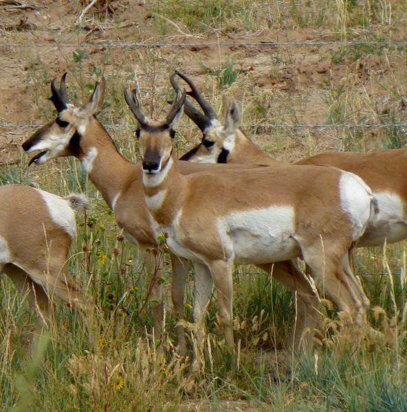 P1130161 Antelope in Wyoming 40%