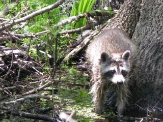 1:18 p.m. Raccoon