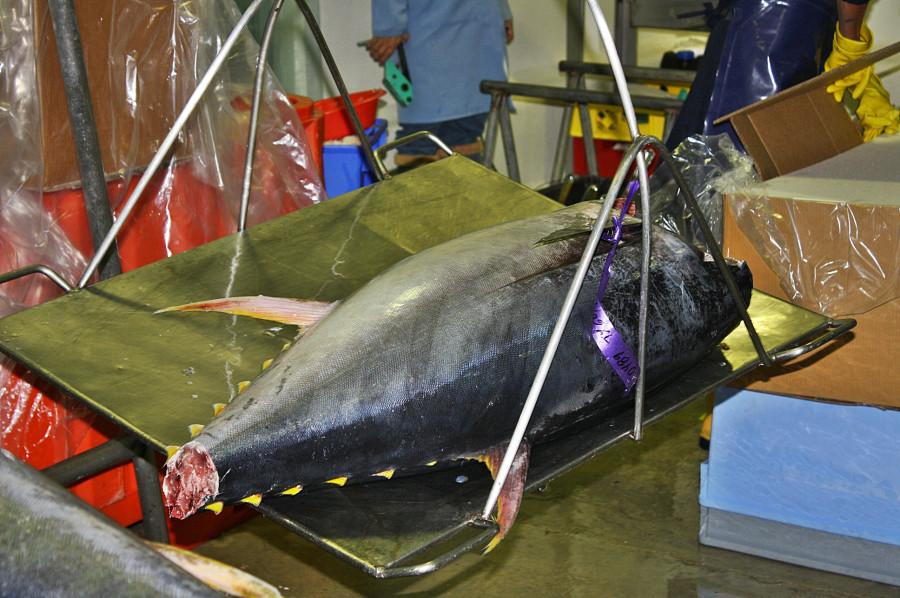 тунец на весах