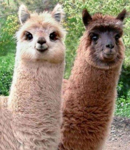 две ламы
