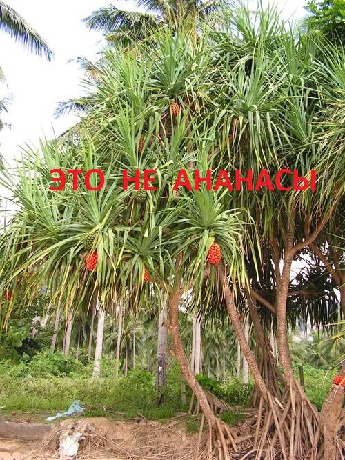 ананасы на деревьях