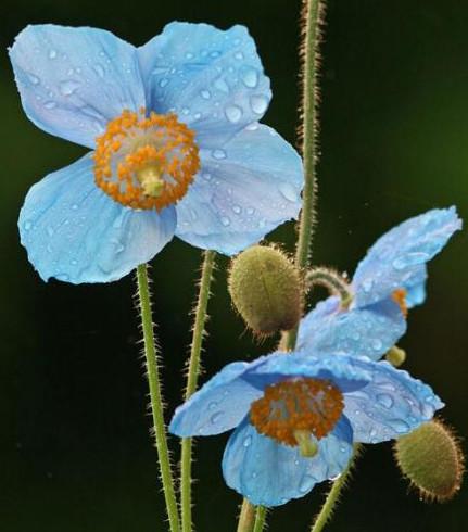 Меконопсис буквицелистный (гималайский голубой мак).