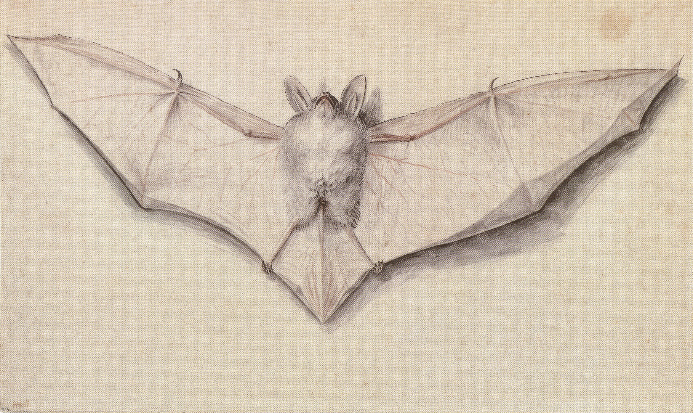 Study of a bat with outspread wings. с.1523