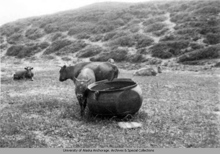 A_heifer_uses_a_huge_abandonned_cast_iron_pot_for_a_rubbing_post.jpg