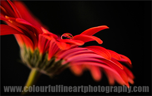 Red Gerbera Flower Print