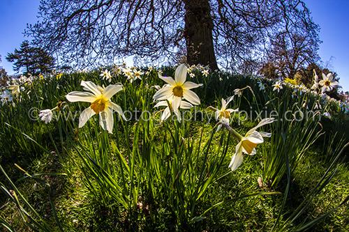 Fisheye Daffodil Landscape