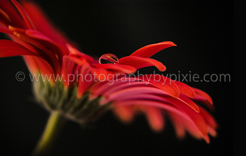 red gerbera flower with water drop
