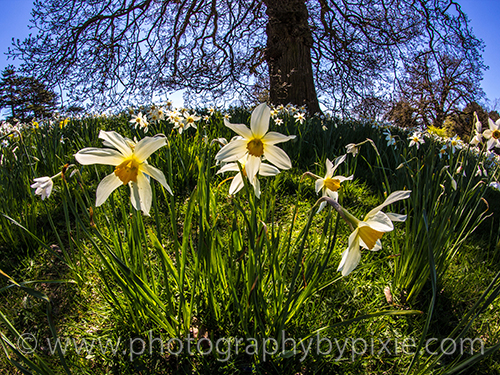 Fish Eye Daffodil Landscape