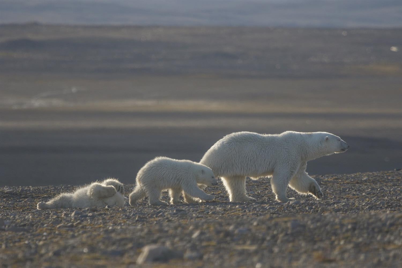 1_Медвежья семья на мысе Желания. Фото - Николай Гернет