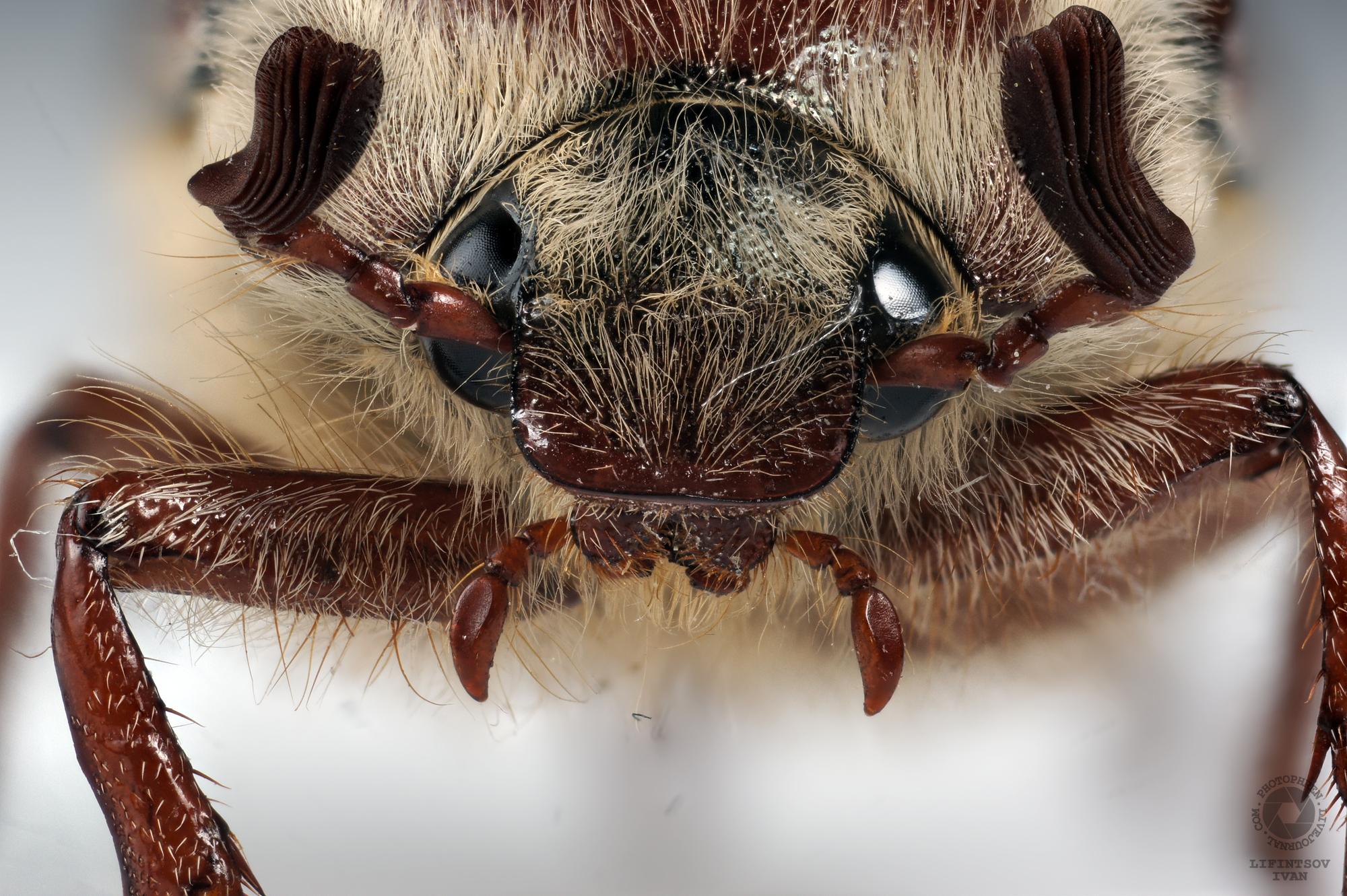 лицо-майский-жук