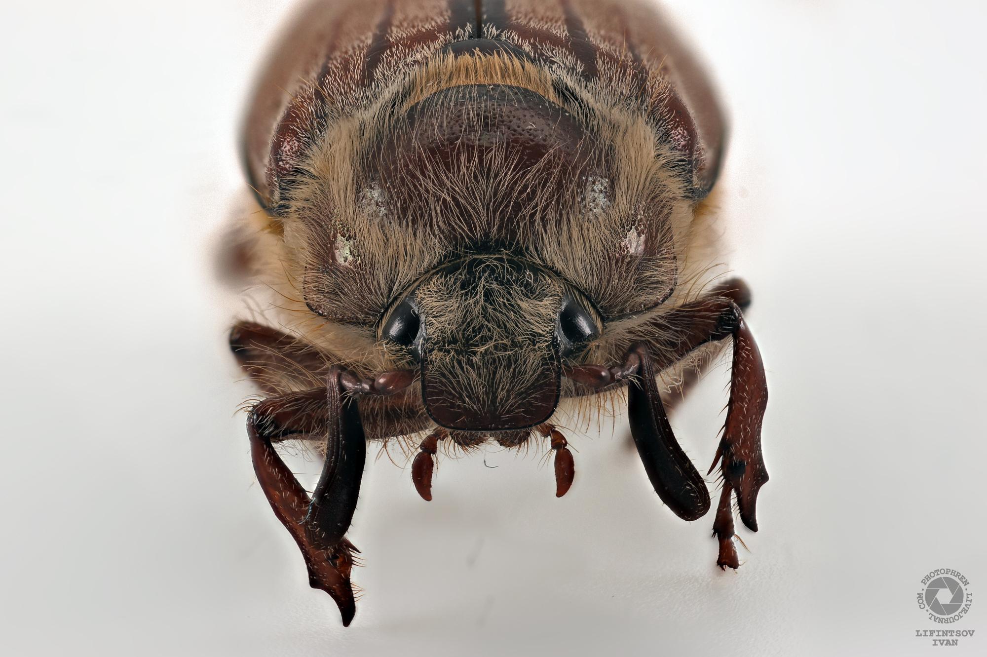 майский-жук-1