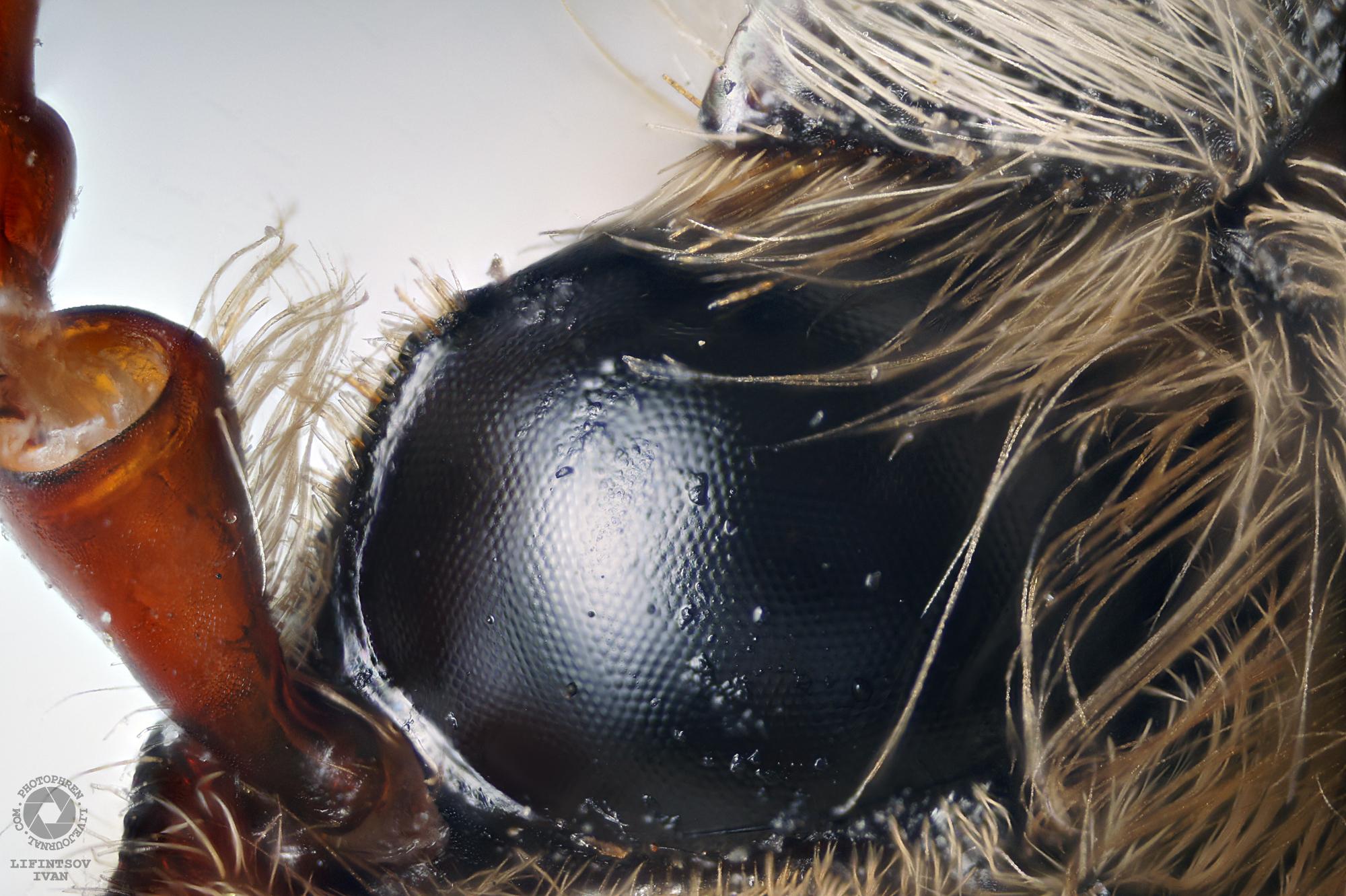 правый-глаз-майский-жук