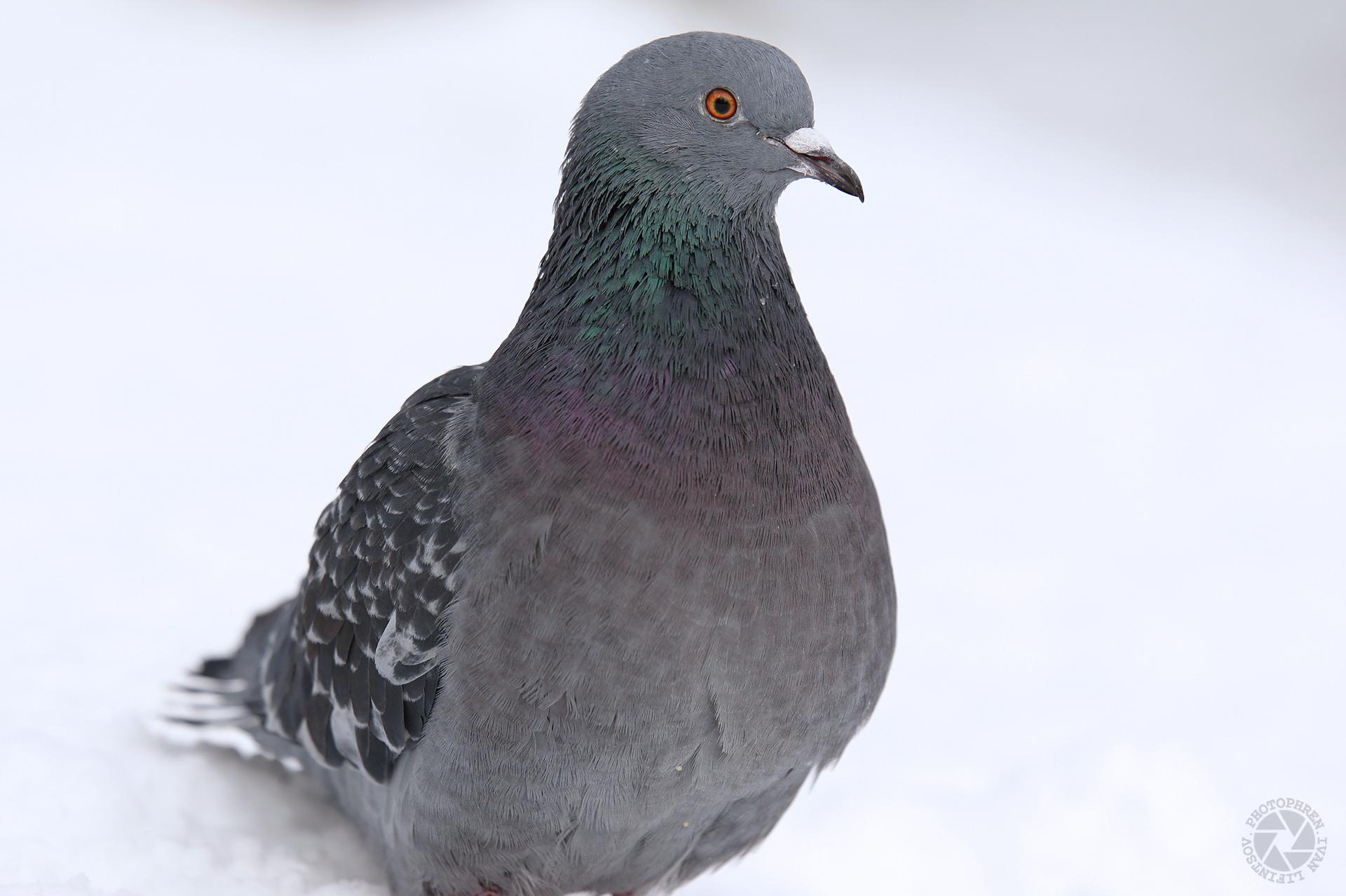 голуби 2