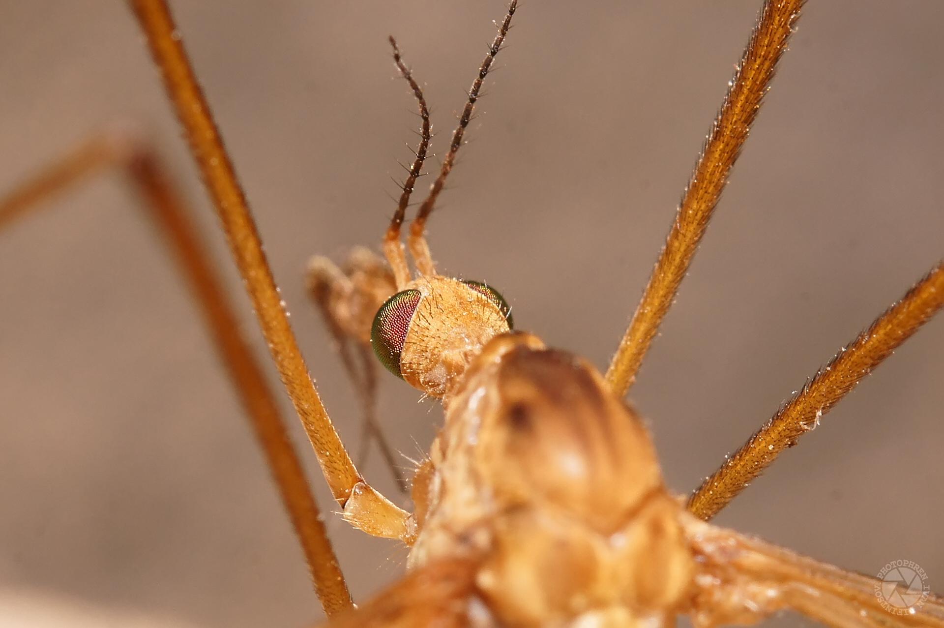 комар долгоножка (2)