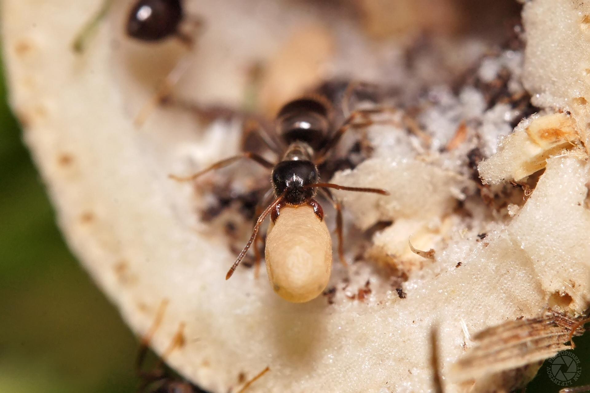 муравей (3)