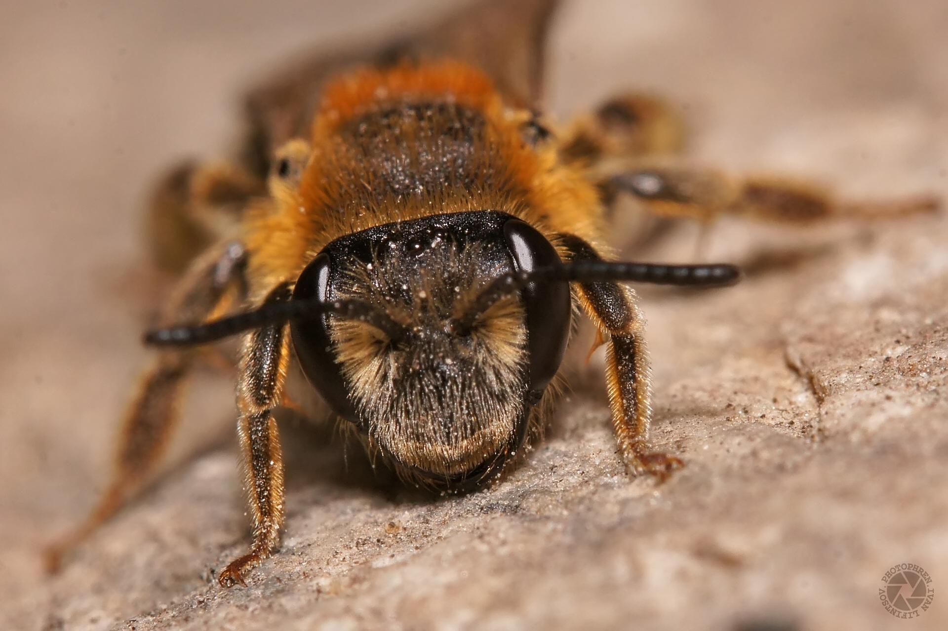 пчела (2)